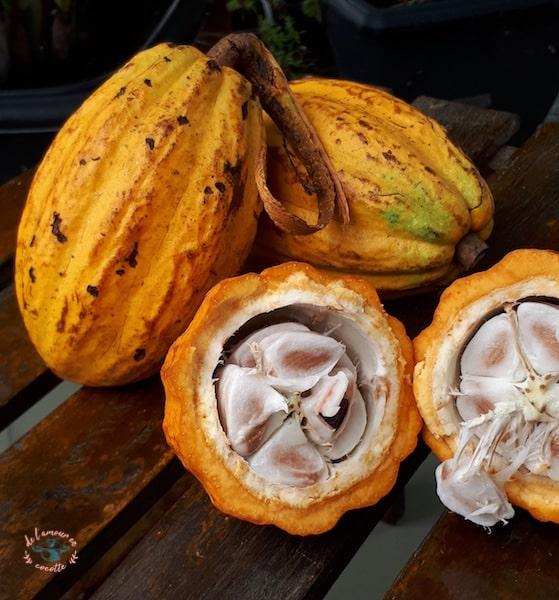 Cabosse - Cacaoyer (Porto de galinhas, Brésil)